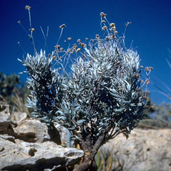 Guayule (Parthenium argentatum) , is a flowering shrub native to the southwestern United States and northern Mexico.