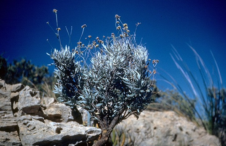 The guayule plant can produce a substitute source of rubber. Photo by