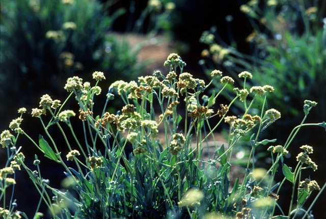 The Guayule is a perennial shrub native to the southwestern United States and northern Mexico that produces natural rubber in its bark and roots.
