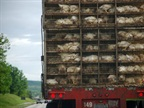 Truckers hauling chickens aren't the only ones being affected by bird flu. Photo by Ben via Wikimedia Commons